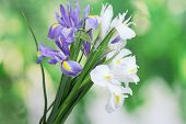 picture of purple iris  - Beautiful bright irises on green background - JPG