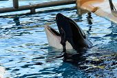 Killer Whale (orcinus Orca) poster