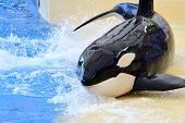 Portrait Of A Killer Whale (orcinus Orca) Out Of The Water By The Waters Edge During A Whale Show poster