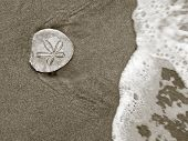 picture of sand dollar  - Seashore Discovery - sand dollar on a sandy beach