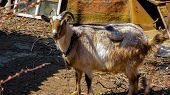 Lovely Brown Domestic Goat. Adult Domestic Goat In The Countryside. On A Summer Day, A Pet In The Ya poster