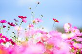 Colorful Pink Flowers Cosmos In The Garden On Fresh Bright Blue Sky Background / Beautiful Cosmos Fl poster