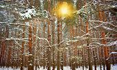 Sunset In Winter Forest Snow Pine Fir Tree. Soft Sunlight Rays In Winter Scenic Fir Tree Pine Forest poster
