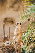 Meerkat On Hind Legs. Portrait Of Meerkat Standing On Hind Legs With Alert Expression. Portrait Of A poster