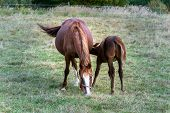 Beautiful Brown Foal Sucking From Mare Horse On Pasture, Summer Day poster
