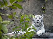 A White Bengal Tiger Is Located Against A Stone Wall Behind Tree Branches. The Predator Raised Its H poster