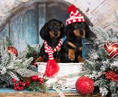 christmas dachshunds, christmas dog in a hat and scarf,  year dachshund poster