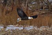 stock photo of fish-eagle  - A Bald Eagle flying away from river with fish - JPG