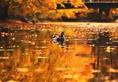 Lonely Duck Swims In A Pond In An Autumn Park poster