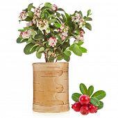 Постер, плакат: Цветение брусники брусники с свежими диких ягод березы Вт изолированные на белом
