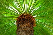 A Large Green Crown Of Tropical Coconut Palm Trees Growing In An Exotic Resort, View From Below. Pal poster