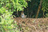 Jaguar On Riverbank From Pantanal, Brazil. Wild Brazilian Feline. Nature And Wildlife poster