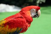 foto of polly  - half body shot of parrot against green backdrop - JPG