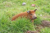 Live Domestic Pig In Ecuador poster
