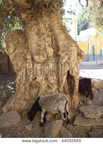 Old Tree in Nubian Village, Elephant Island, Egypt