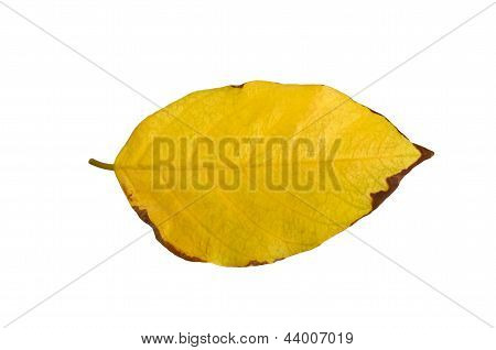 Millettia pinnata Autumn leaf