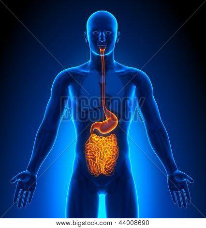 Medical Imaging - órgãos masculinos - coragem