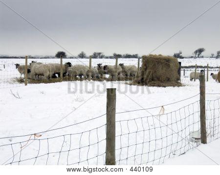 Sheep Feeding In Snow