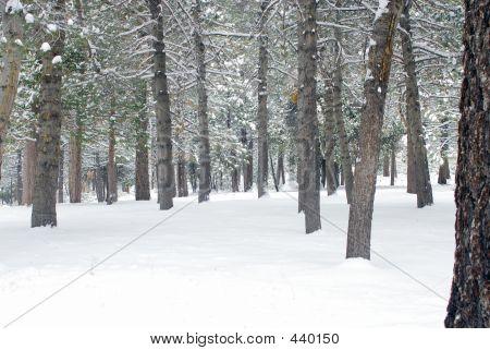 Pine Forest In Wiinter