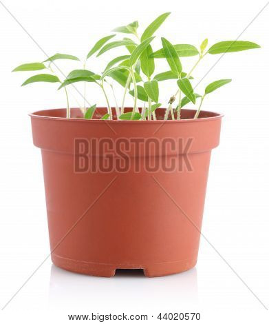 Sprouts Of Tomatoes In Pot