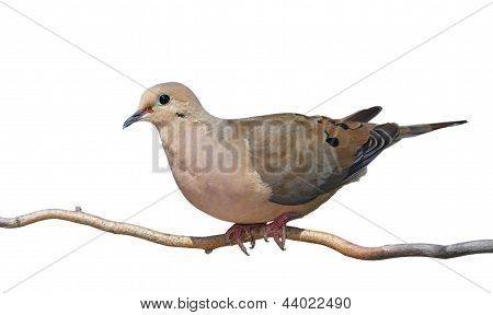 Mourning Dove Rises