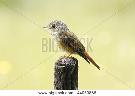 Ferruginous Flycatcher Muscicapa ferruginea