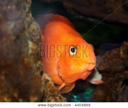 Red Parrotfish