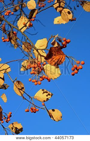Autumn Rowanberry