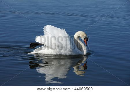 White Swan And Water