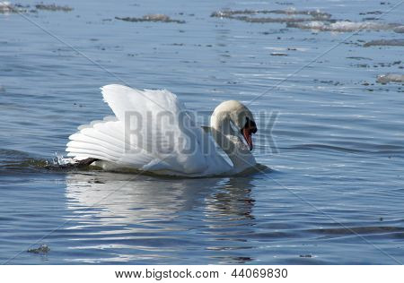 Swan And Water