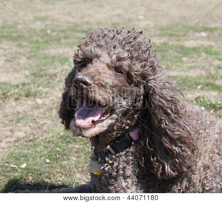 Brown standard poodle panting