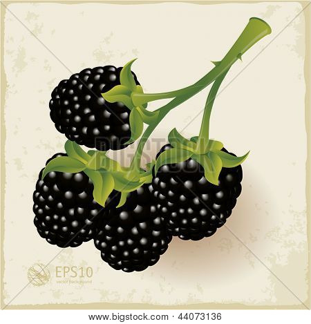 Blackberries. Vector.