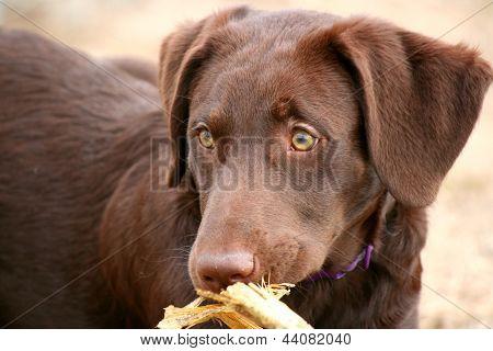 Dog With a Corn Husk