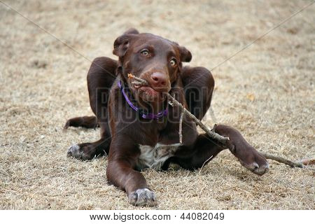 Puppy Chewing on a Stick