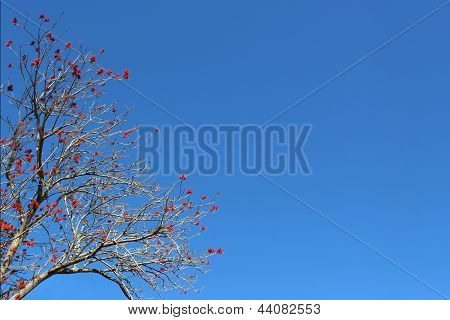 Coral Tree (Flame Tree) Against Clear Blue Sky