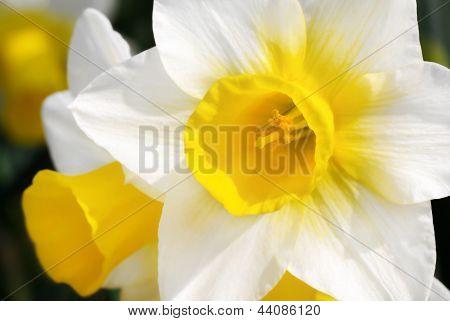 Bright Daffodils In Sunlight