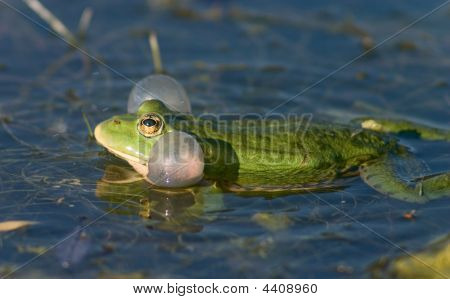 Frog Croaking In A Lake