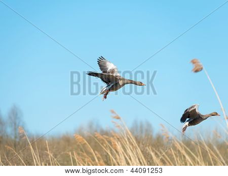 Greylag geese flying in a blue sky in spring