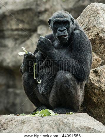 Big black gorilla  sitting rock and eating