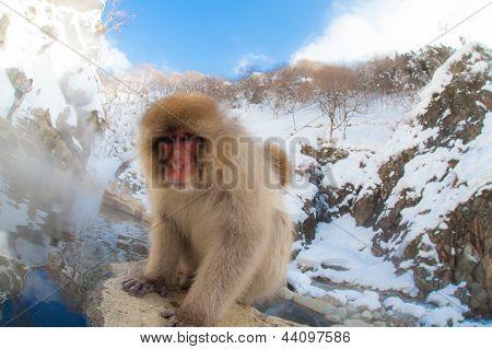 Curious Japanese snow monkey