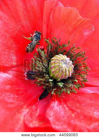 beautiful red flower of red poppy and bee