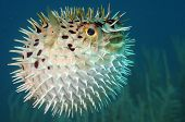 pic of venomous animals  - Blowfish or diodon holocanthus underwater in ocean in tropical destination - JPG