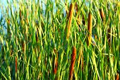 stock photo of bulrushes  - Typha latifolia Common Bulrush Broadleaf Cattail blackamoor flag mace reed water - JPG