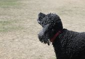 stock photo of standard poodle  - Black standard poodle with red collar barking - JPG