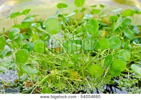 Centella Asiatica Medical Herb