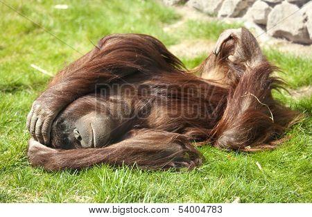 Orangutan in zoo lying on grass