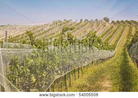 Vineyards landscape with bird protection net in Burgenland, Austria