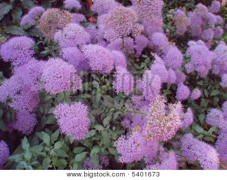 Many Purple Flowers