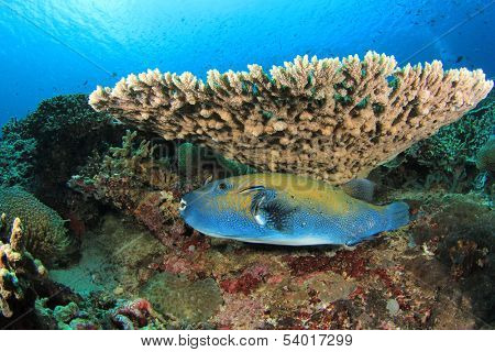 Bluespotted Pufferfish on coral reef underwater