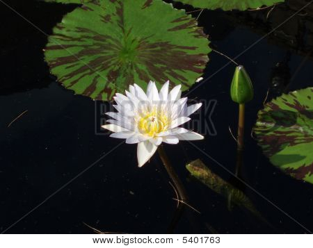 White Water Lily With Yellow Center